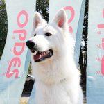 ホワイトスイスシェパード レフア NPO法人日本セラピードッグ協会認定 セラピードッグ
