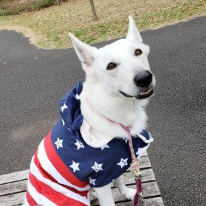ホワイトシェパード メリア NPO法人日本セラピードッグ協会認定 セラピードッグ
